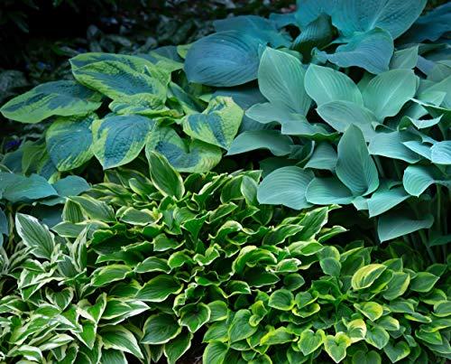 Hayloft Hosta Mix |Mixed Variety|Foliage Plants|Fully Hardy Perennial|1 x 10 bareroot