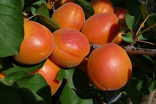 Aprikose Harlayne, Busch im 7,5 l Topf, 30 cm Stammhöhe