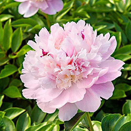 Chinesische Pfingstrose Edens Perfume 2/3 - äugig - 1 Stück Blumenzwiebeln, Direkt von holländischem Boden