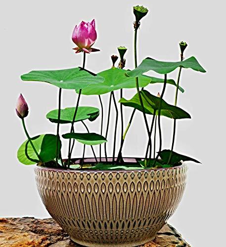 15 chinesische Mini Lotusblume Samen, Nelumbo nucifera, Bowl Lotus, Schüssel Lotus