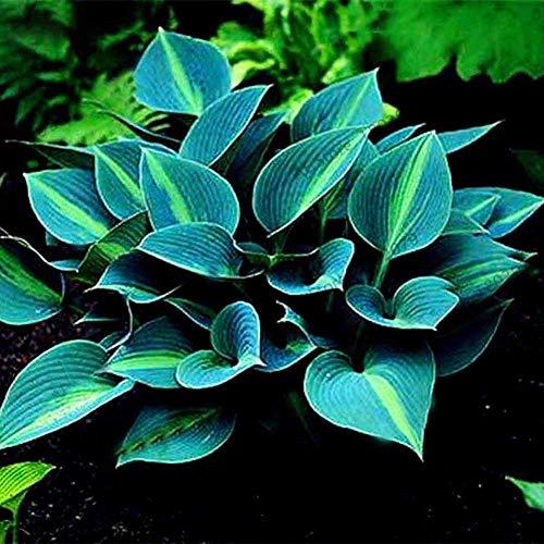 200 Piezas De Semillas De Plátano De Jade De Color Mezclado, Planta Decorativa De Bonsái De Plátano Fragante Azul Semillas de Hosta