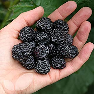 1 Jewel - Black Raspberry Plant - Everbearing - All Natural Grown - Ready for Fall Planting