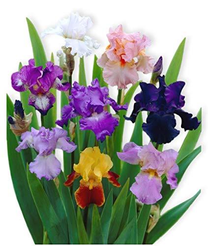 Reblooming Bearded Iris - 3 Large Rhizomes - Colorful Cocktail Mix - Blooms...