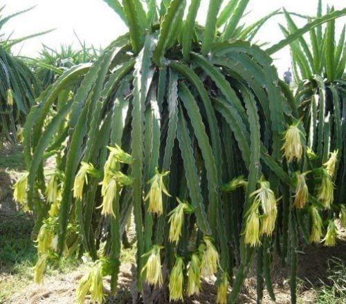 Drachenfrucht Hylocereus megalanthus Pflanze 5-10cm Pitaya Pitahaya Kaktus