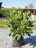 Späth Rhododendron-Hybride 'Goldflimmer' Zierstrauch immergrün Gartenpflanze blühend 1 Pflanze...
