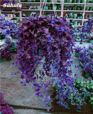 Rara semilla de flor colorida planta trepadora de hoja perenne de la rota al aire libre Fácil Grow Bonsai Colgando planta de la cesta Los más populares 50 PC 6