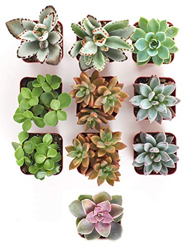Shop Succulents | 10 Pack Live...