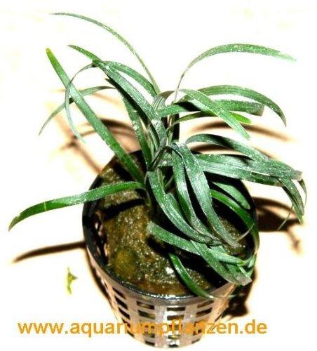 3 Töpfe ophiopogon japonicum, kleiner Schlangenbart