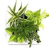 ミドリエデザイン 土を使わない 壁掛け 観葉植物 FRAME 17Y4 テーブルヤシmodel (ホワイト)