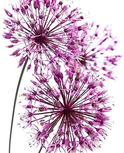 10 Stück Allium Zwiebeln von hohem...