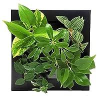 ミドリエデザイン 土を使わない 壁掛け 観葉植物 FRAME17Z4 シェフレラ緑model (ブラック)