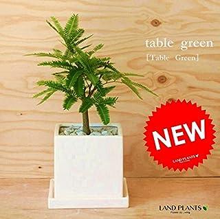 LAND PLANTS 【観葉植物】 エバーフレッシュ (白色スクエア陶器 卓上サイズ)