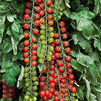 VISA STORE Â 2018 Hot Se Tomate 'Rapunzel' Green Red Bonsai Kirschtomate, 100pcs 'Samen' High Yield für Hausgarten-Früchte