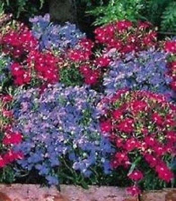 50+ Lobelia Regatta Mix Graines de fleurs/vivaces