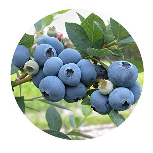 Four Seasons Blueberry Saplings Im Süden und Norden gepflanzt, 300 Stück im Boden