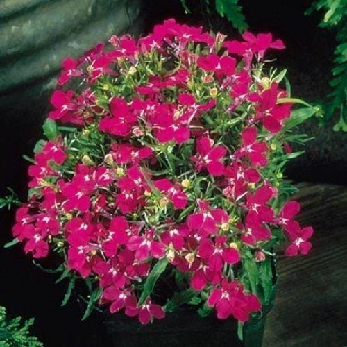 Hängendes Männertreu rot 500 Samen (Lobelia Cascade Red)