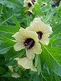 Asklepios-seeds® - 5000 Samen Hyoscyamus niger - Schwarzes Bilsenkraut