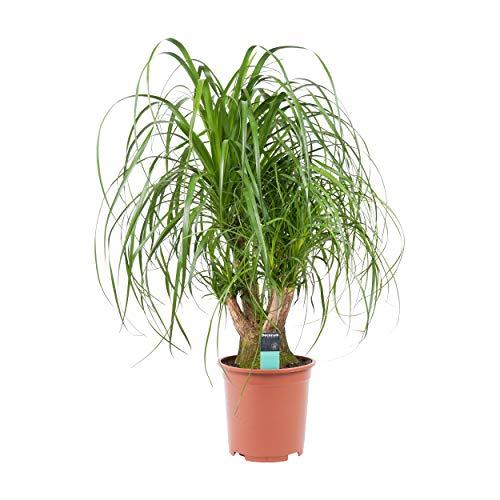 Planta de interior de Botanicly – Pata de Elefante – Altura: 79 cm – Beaucarnea recurvata