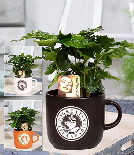 BALDUR Garten Coffea Arabica im Barista Keramiktopf, 1 Kaffee-Pflanze Kaffeebaum Kaffeestrauch Zimmerpflanze