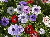 Bulbi da Fiore ALTA QUALITA' per fioritura PRIMAVERILE - ESTIVA - AUTUNNALE (10, Anemone DE CAEN)