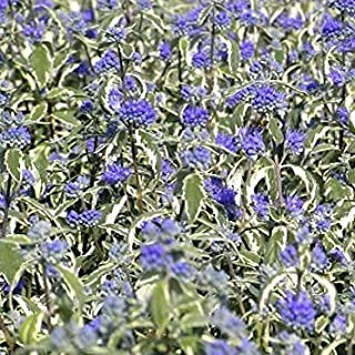 Caryopteris Kew Blue 15cm Pot Size