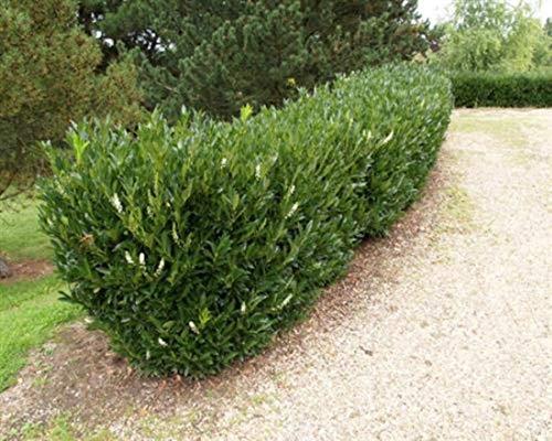 Kirschlorb 50 Stück Otto Luyken Prunus lauro. Jungpflanzen T9x9 Pflanzware