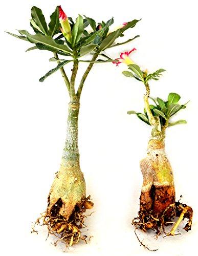 Set of 2 Adenium Desert Pink & Red Color House Plant Bonsai