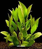 Kirschblatt - Riesenwasserfreund/Hygrophila corymbosa