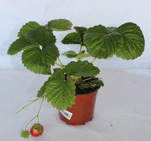 Fresa común (Maceta 10,5 cm Ø) - Planta frutal viva