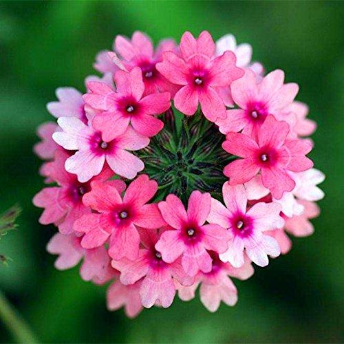 Nuovo arrivo !!! 100 pc/lotto Lantana camara semi di fiori, Rare pianta erbacea perenne Splendida Bonsai impianto per il giardino domestico in vaso semi di 5