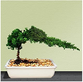 Best bonsai boy nursery Reviews