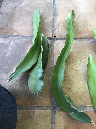 FERRY Bio-Saatgut Nicht nur Pflanzen: Drachenfrucht Pitahaya 100 Seeds Rote Früchte 100 Seeds Seed Very Long Saatguts