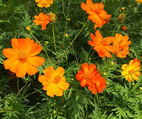 XINDUO Samen für Ihr Garten Balkon,Easy Living Garden Plant Cosmos Blumensamen-gelb_0,5 kg,Wildblumenwiese