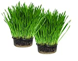 Cat Grass Kit x 2 (Grow your own) By Cat FurNature