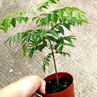 8QzJs1Tg 100Pcs Curry Leaf Tree Seeds Petted Culinary Herb Plant Outdoor Garden Decor - Curry Seeds