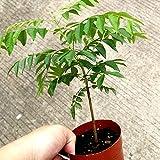XdiseD9Xsmao 100 Pcs Curry Feuille Graines D'arbres Plantes Vertes Graines Petted Culinaire Herb Plante En Plein Air Jardin Balcon Décor Graines de curry