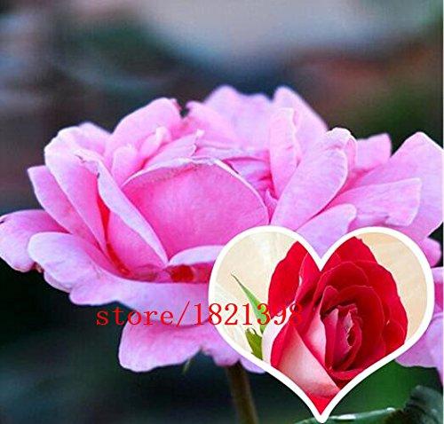 100 graines / paquet, Hardy Eau Rouge Rose Graines fleurs graines