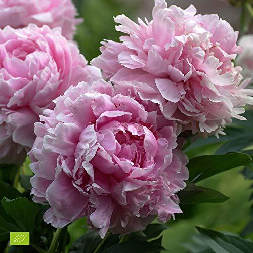 Paeonia lactiflora Sarah Bernardt | Rosa peonia | Pianta da giardino fiorita