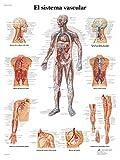 3B Scientific VR3353L Impreso En Papel, el Sistema Vascular