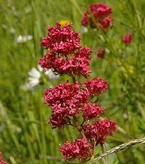 Elwyn RED Valerian 100 Seeds, CENTRANTHUS Ruber JUPITER'S Beard Excellent Flower