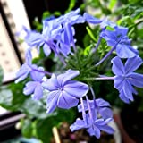 AchidistviQ 15Pcs Blue Plumbago Auriculata Pianta Da Giardino Profumata, Resistente E Facile Da Piantare Cape Leadwort Semi Piante Da Fiore Sempreverdi Semi di Lam Plumbago auriculata