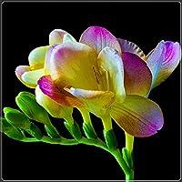 ゴージャスなマルチカラーフラワーミックス,魔法の装飾用植物,美しい観賞用花,フリージア球根,色の饗宴-10 球根