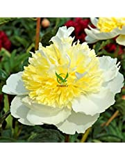 FERNSFLY IMP. Peonies / Peony Excellent Quality Flower Bulbs for Attractive Aromatic Flowers Home Gardening Perennial Plants All Season Flower Bulbs ( pack of