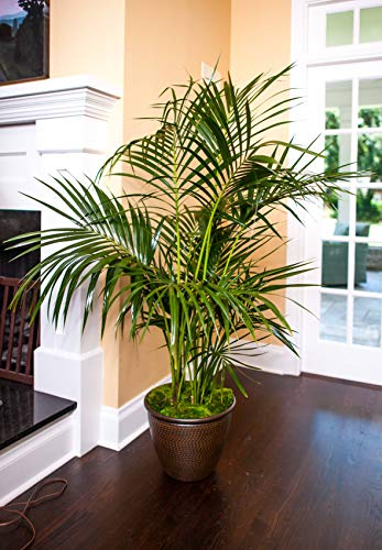 Kentia Palm - Live Plant in an 10 Inch Growers Pot - Howea Forsteriana - Beautiful Clean Air Indoor Outdoor Houseplant
