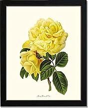 Yellow Rose Print: Vintage Botanical Art - Rose Reve d'Or - Ready to Frame 5x7 8x10 11x14