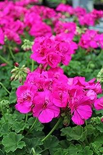 Best geranium calliope lavender rose Reviews