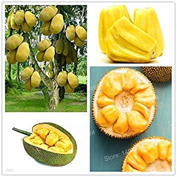 Vistaric 50 stücke Frische Jackfrucht samen obstbäume Tropische Seltene Riesige Baum Samen seltene wunder obstgarten samen Neue Große Blühende Pflanze