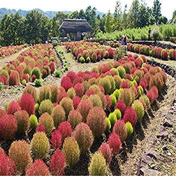 VISTARIC 50pcs Rote-Bete-Seeds Burpee Golden Beet Wurzelgemüsesamen Non-GMO Erbstück Bonsai-Hausgarten Pflanze DIY