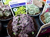20 Mixed Alpine Plants in 9cm POTS All with AGM from RHS - Alpine Plant Collection for Rockeries, Troughs and Garden