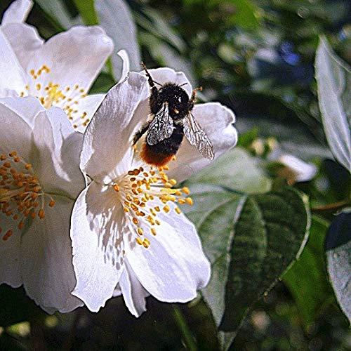Müllers Grüner Garten Shop Pfeifenstrauch Duftjasmin Belle Etoile Philadelphus offene duftende Blüte ca. 40-60 cm 3 Liter Topf